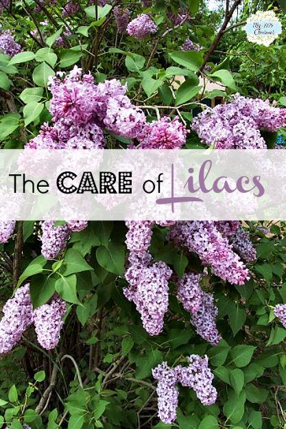 Lilac_bush-2edq3ho1