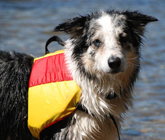 dog-wearing-life-jacket