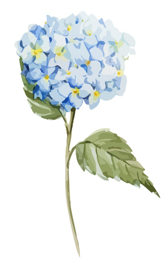 Propagating Hydrangeas is a simple project that produces beautiful flowers