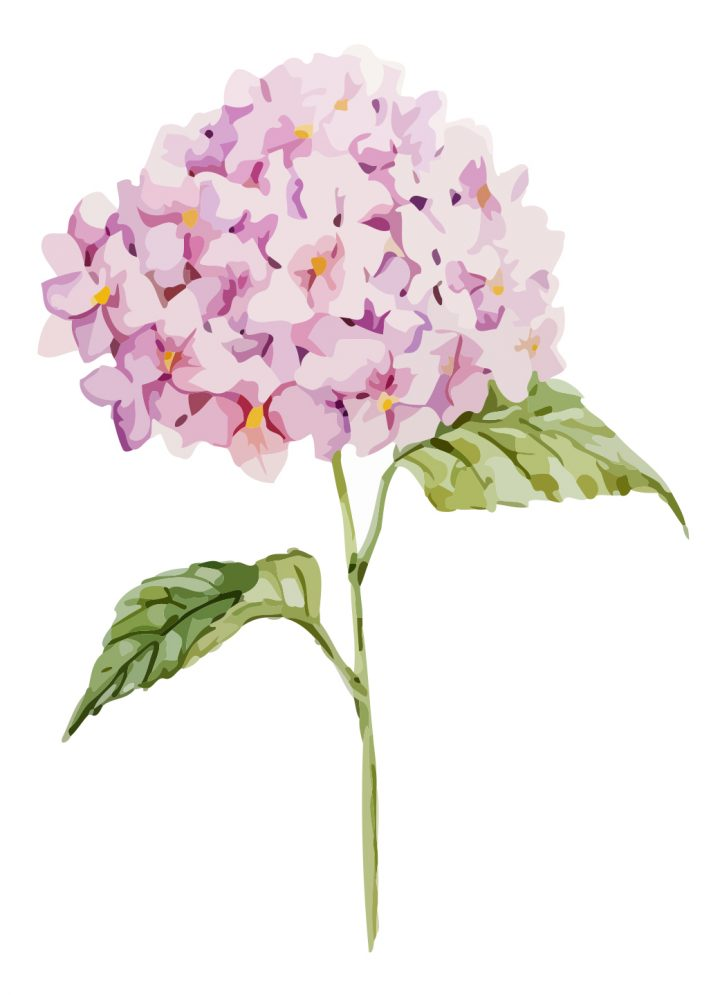 Pink and purple Hydrangea blooms