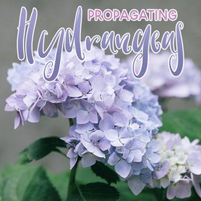 Propagating Hydrangeas
