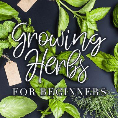 Growing Herbs For Beginners