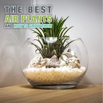 The Best Air Plants and How To Grow Them