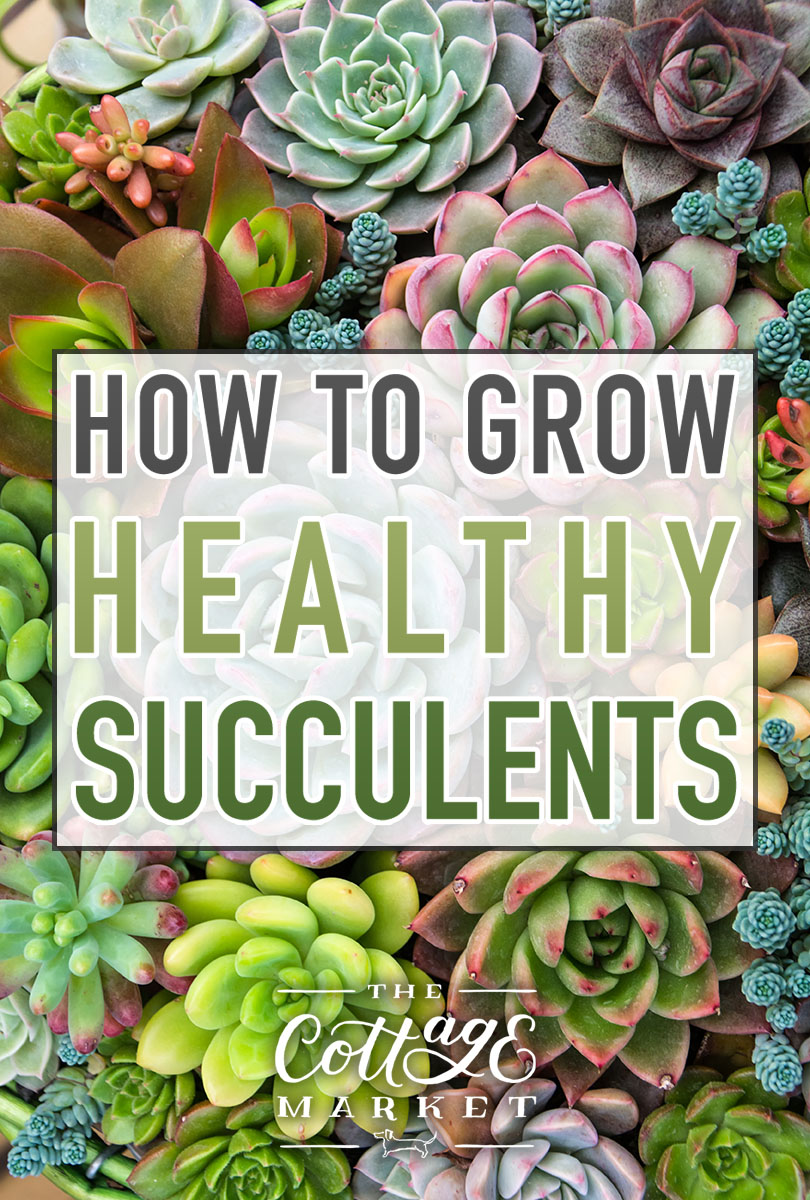 How to Grow Healthy Succulents | A guide on how to pick, plant and keep your precious succulents alive