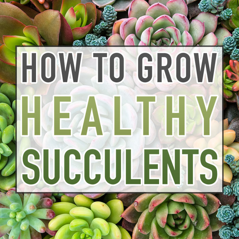 How to Grow Healthy Succulents | Looking for tips on how to keep your succulents alive and thriving? The Cottage Market has some pro tips for you!