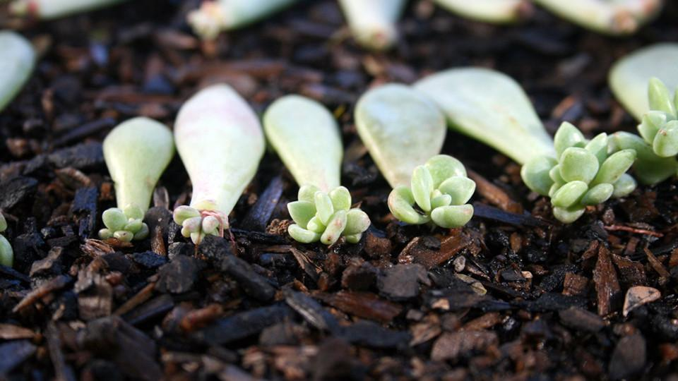Propagating succulents to grow more is a great way to grow your collection