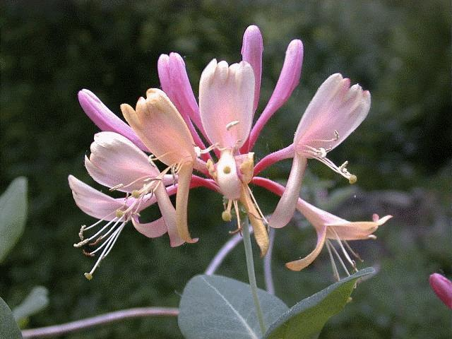 https://thecottagemarket.com/wp-content/uploads/2019/01/Honeysuckle.jpg