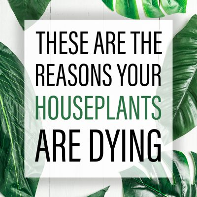 These are the Reasons Your Houseplants are Dying