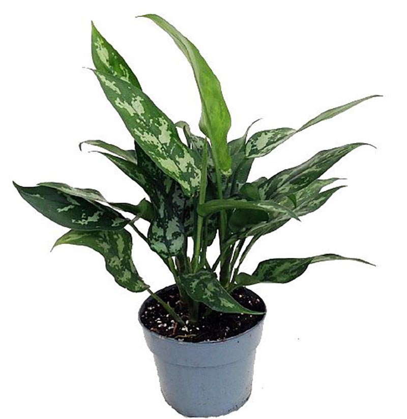 https://thecottagemarket.com/wp-content/uploads/2019/07/chineseevergreen.jpg